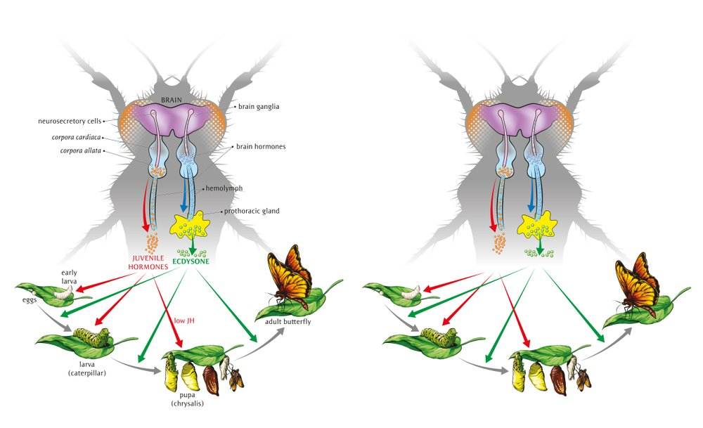 Illustration of how moulting and development are controlled by three main hormones which affect metamorphosis(NoPainNoGain)s