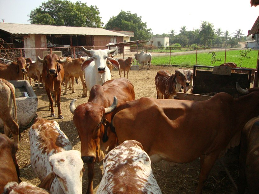 Indian Gir Cow(Anuja Mukhopadhyay)s
