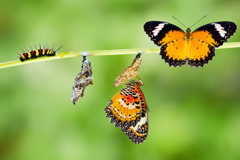 Isolated Male Leopard lacewing (Cethosia cyane euanthes) butterfly , caterpillar, pupa and emerging with clipping path(Mathisa)s