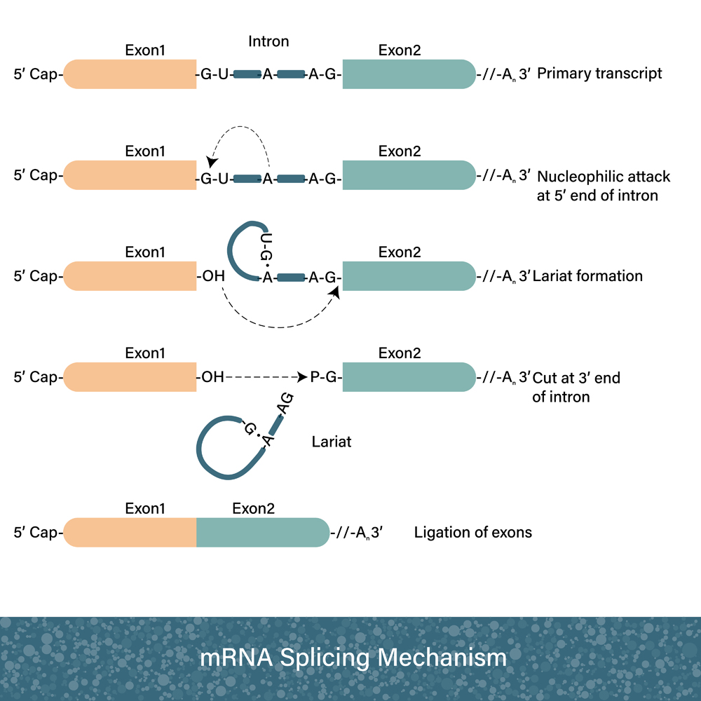 Mechansim of mRNA splicing after transcription (Udayadaithya M V)s