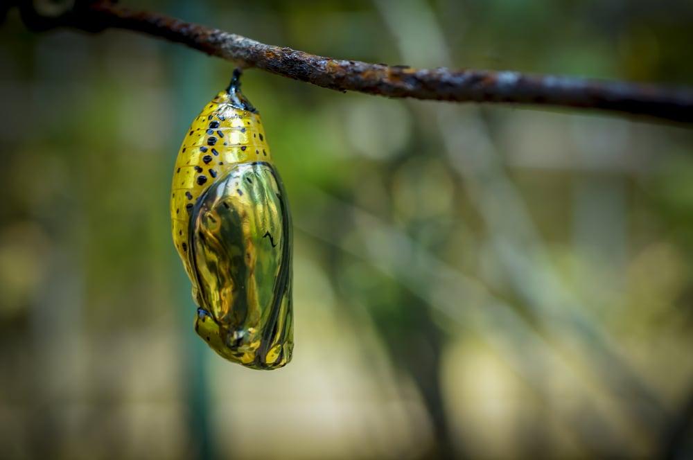 Pretty chrysalis on a branch(davidtclay)s