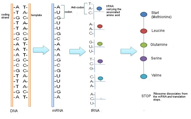 Protein Transcription&Translation
