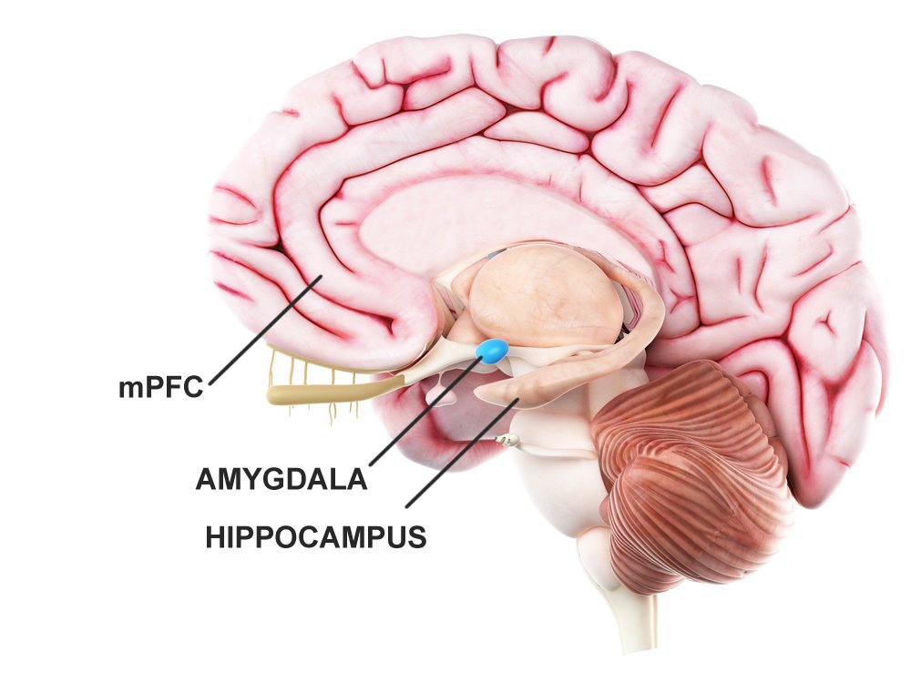 Regions of the prefrontal cortex, amygdala, and hippocampus bring about the 'emotional memory recollection' action