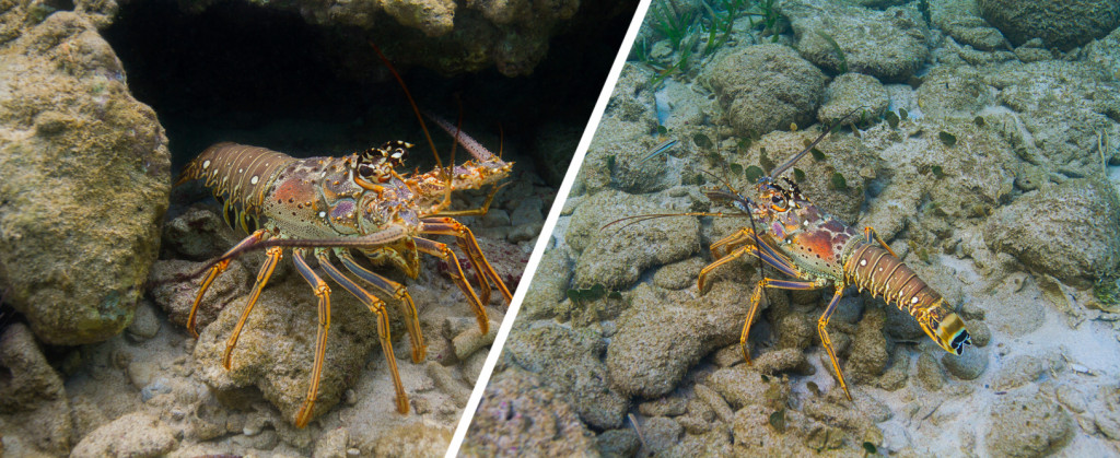 The Caribbean Spiny Lobster avoids sheltering with others using chemical cues