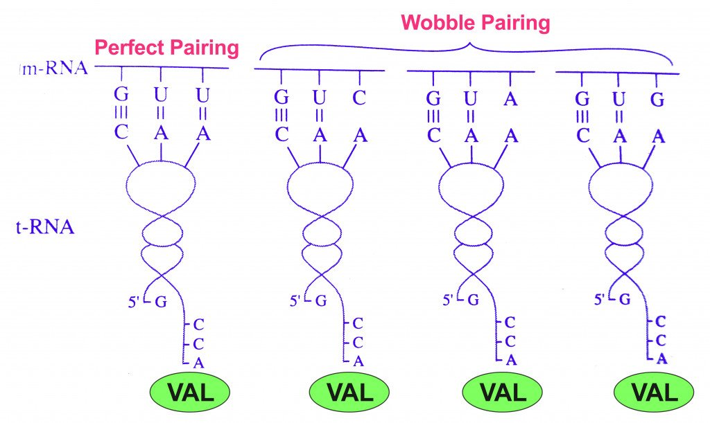 Watson-Crick base pairing and wobble base pairing for Valine