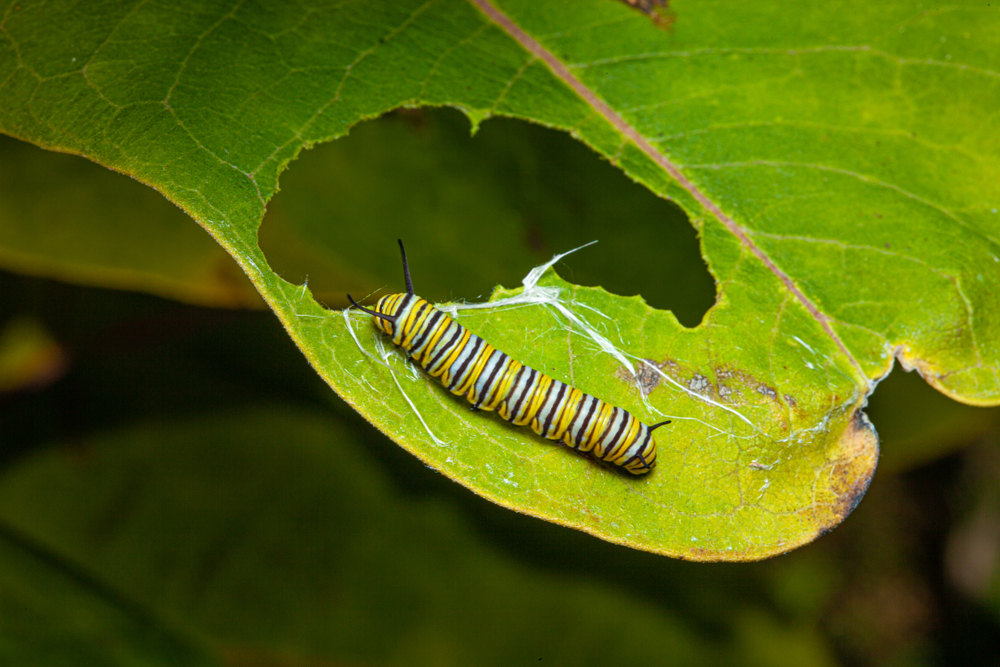 monarch butterfly caterpillar on a green leaf with a partially eaten leaf(K Hanley CHDPhoto)s