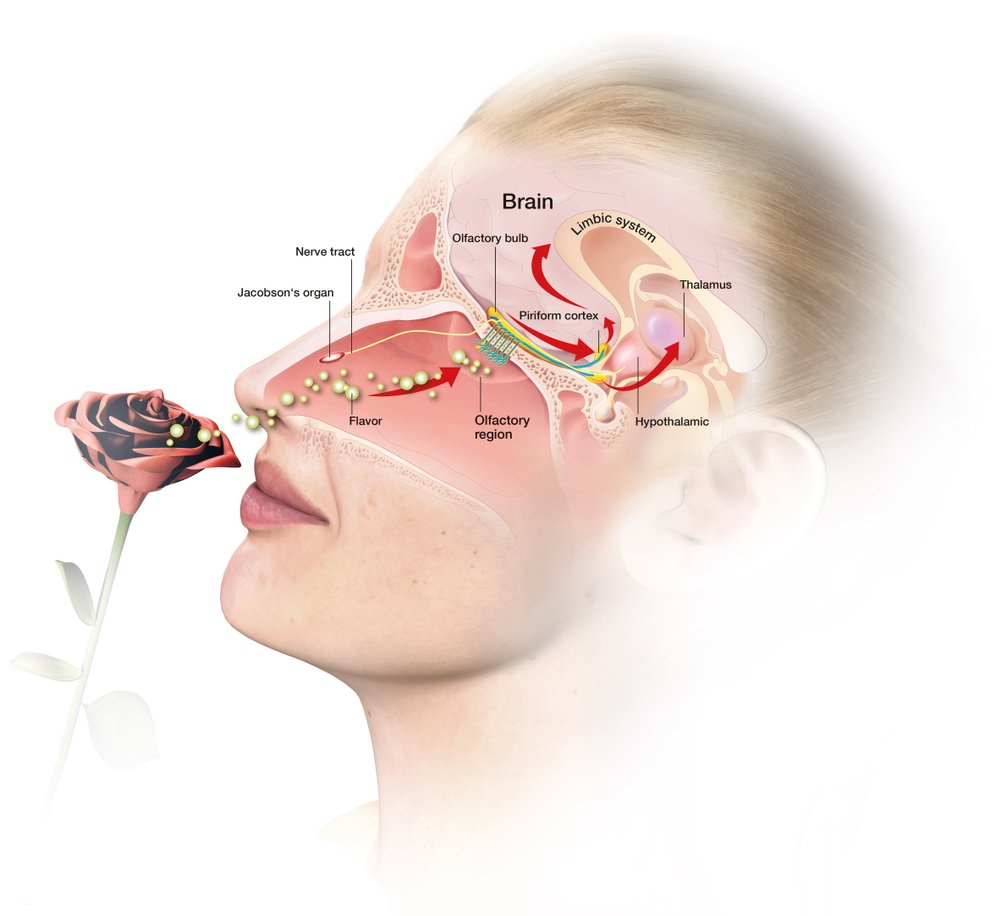 3D illustration showing the function of the olfactory sense(Axel_Kock)s