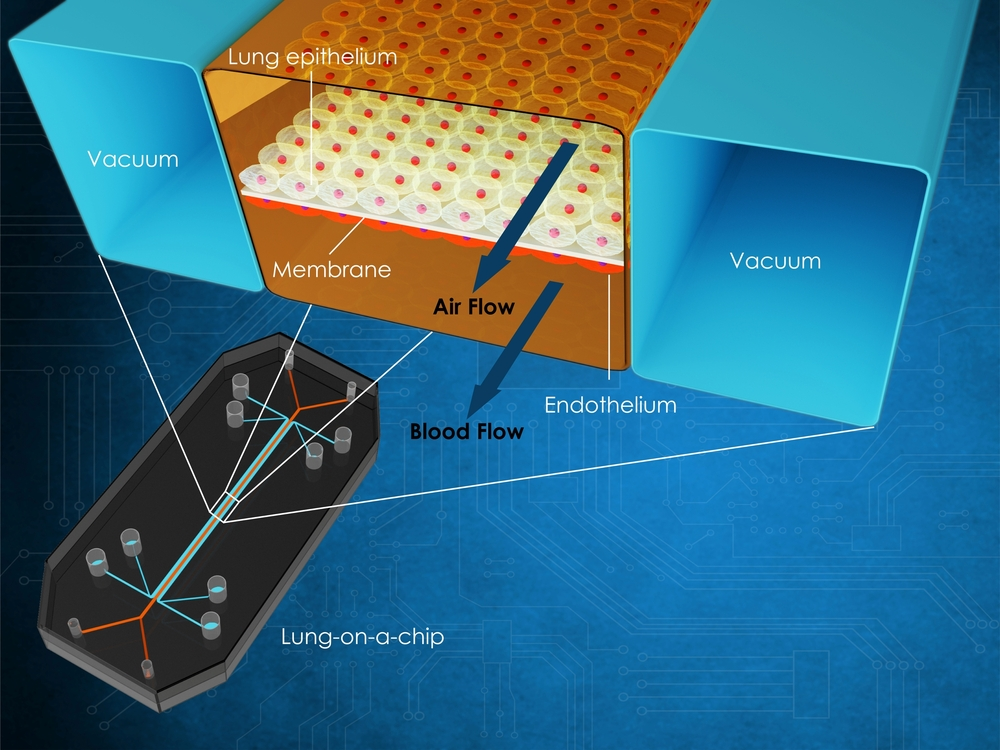 3d illustration that shows a cross section of the chambers of a lung-on-a-chip(Meletios Verras)s