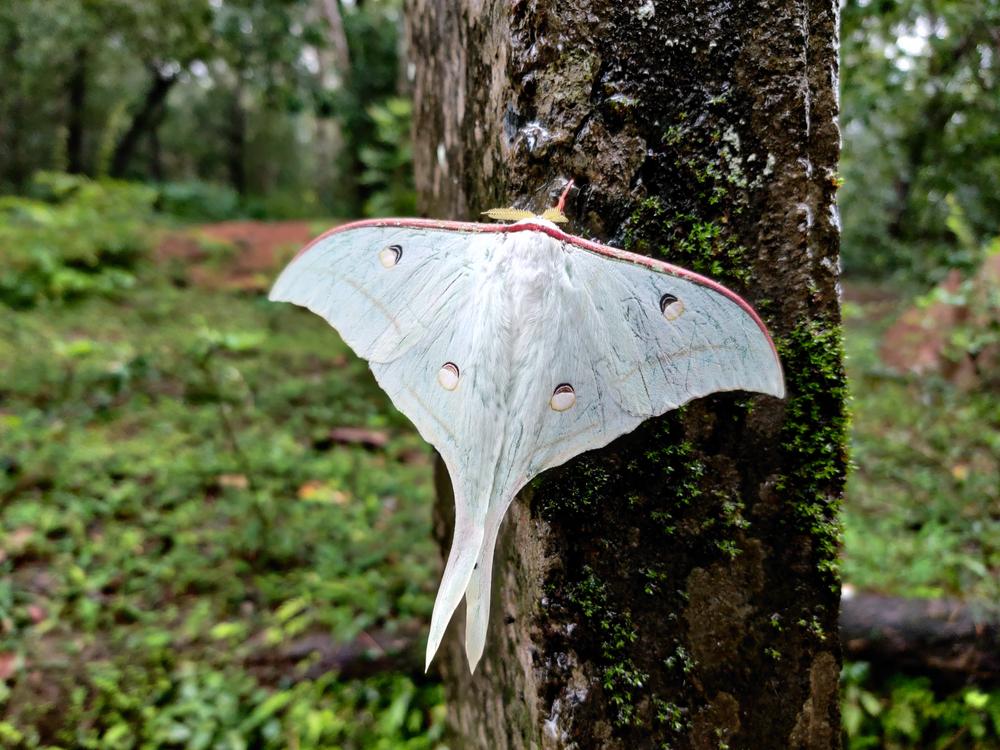 Actias Selene or the Indian Moon moth(Rajendra Bhat)s