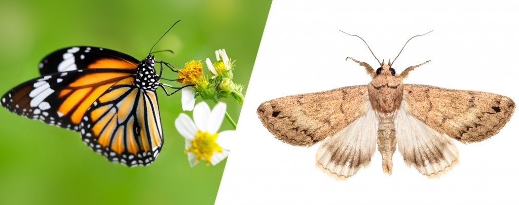 Butterflies are much leaner (and less bulky) than moths.