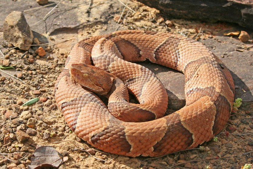 Copperhead Snake (Agkistrodon contortrix)(Creeping Things)S