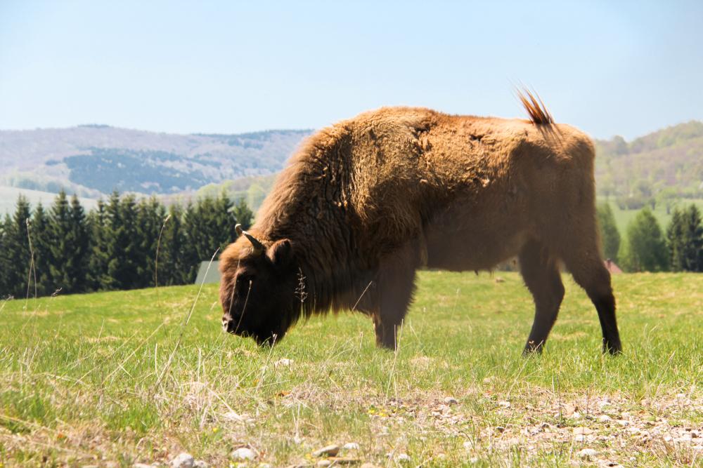 European bison (wisent) in the wild(MEDIAIMAG)s