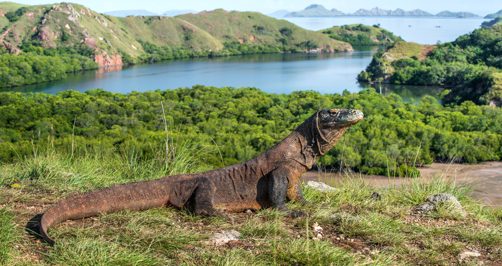 Komodo dragon in natural habitat. Scientific name Varanus komodoensis(Sergey Uryadnikov)S