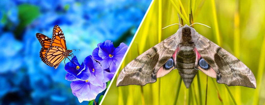 (L) Butterfly, (R) moth