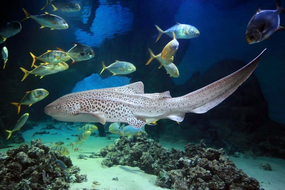 Leopard Zebra Shark (Stegostoma fasciatum) swimming with fishes over tropical reef(Tatiana Belova)s