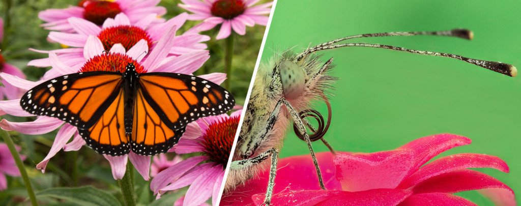 Pollination, the biggest and most crucial role played by moths and butterflies.