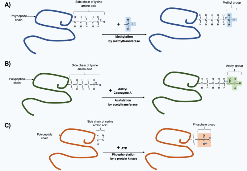 Post-translational modification through the addition of small chemical groups