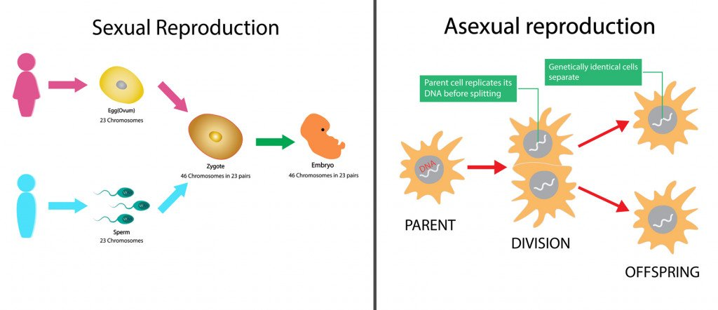 Process of sexual and asexual reproduction