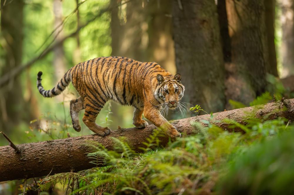 Siberian tiger walking on a fallen tree in taigar(Stanislav Duben)s