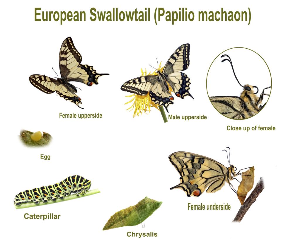 Swallowtail life cycle. Swallowtail life cycle(jps)s