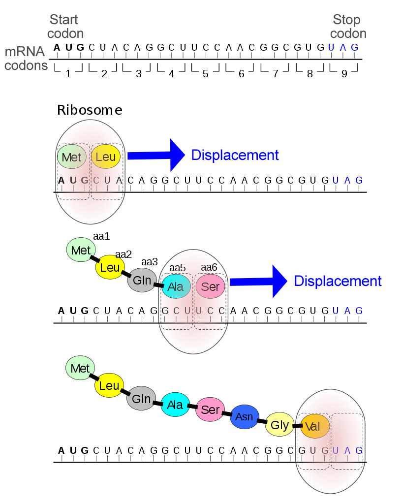 Usual mechanism of a Stop codon