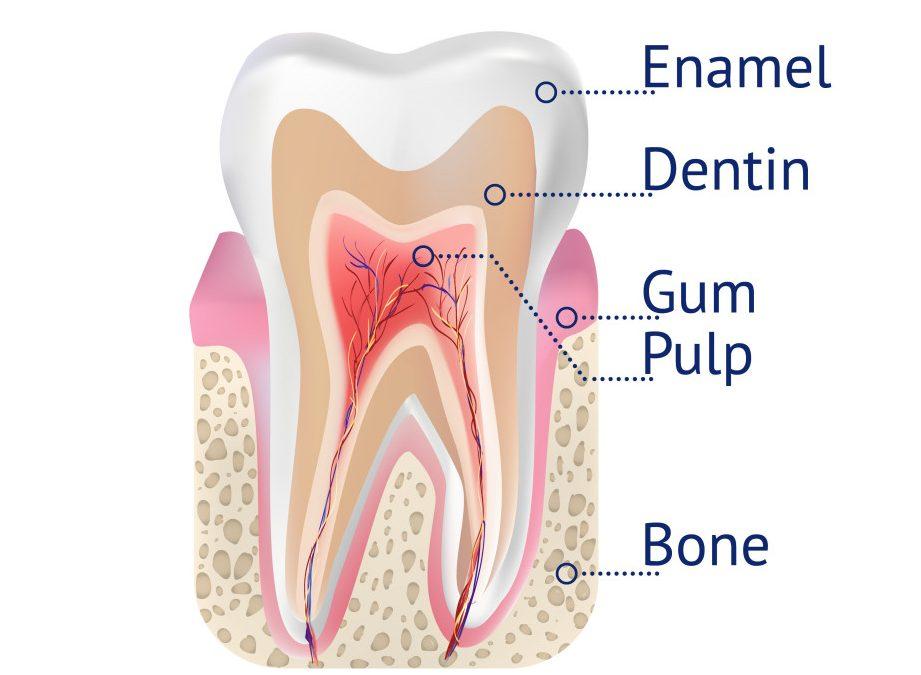 Vector tooth structure(YourElechka)s