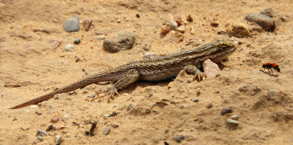 a desert grasslands whiptail lizard in the sand, near albuquerque, new mexico(Nina B)S