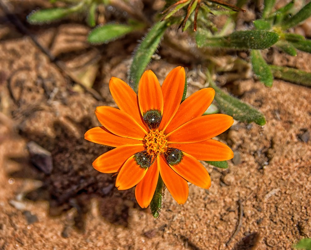 A Gorteria diffusa wildflower in the Namaqualand, South Africa(Cathy Withers-Clarke)s
