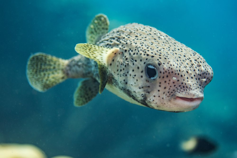 A Porcupine Pufferfish in the open water in Bonaire(J.T. Lewis)s