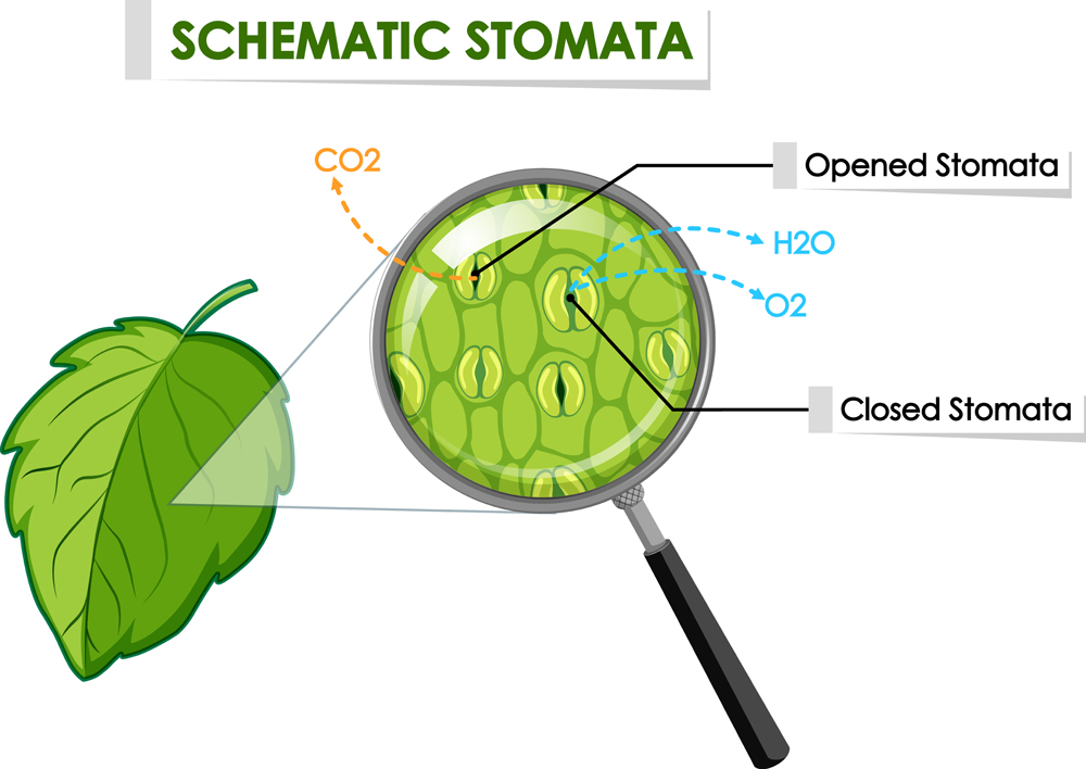 Diagram showing schematic stomata on leaf illustration(BlueRingMedia)S