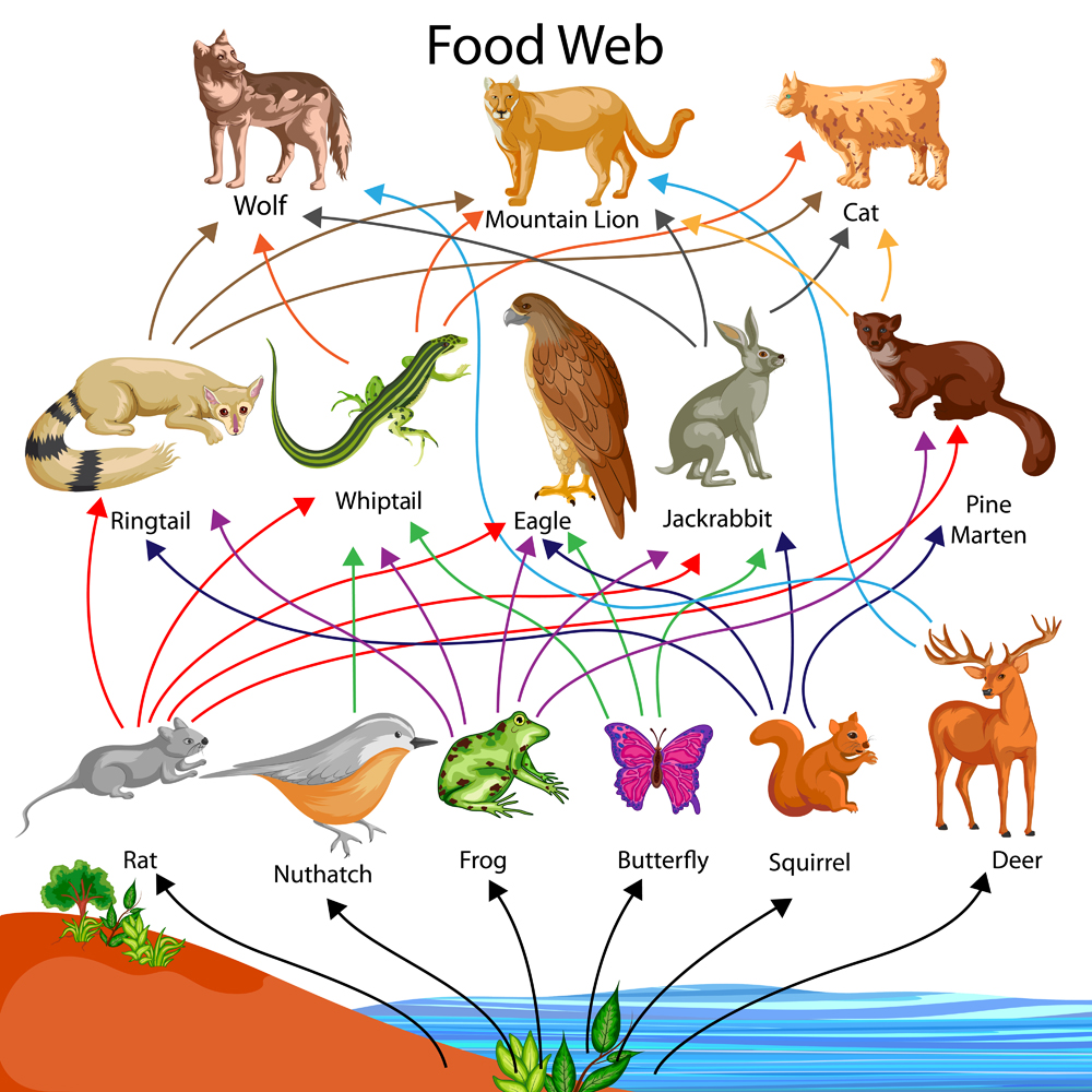 Education Chart of Biology for Food Web Diagram(Vecton)s