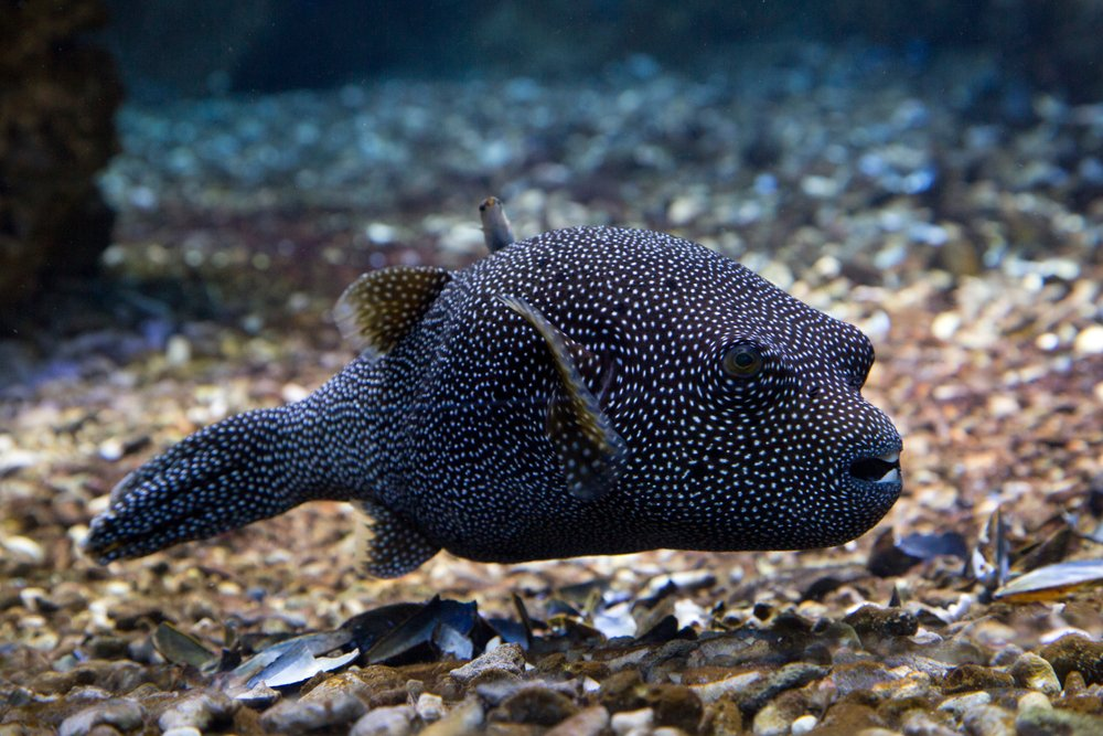 Guineafowl pufferfish(Podolnaya Elena)s