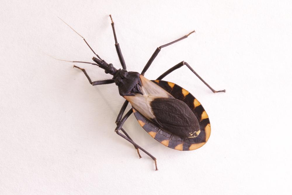 Kissing bug chagas disease vector triatomine(schlyx)s