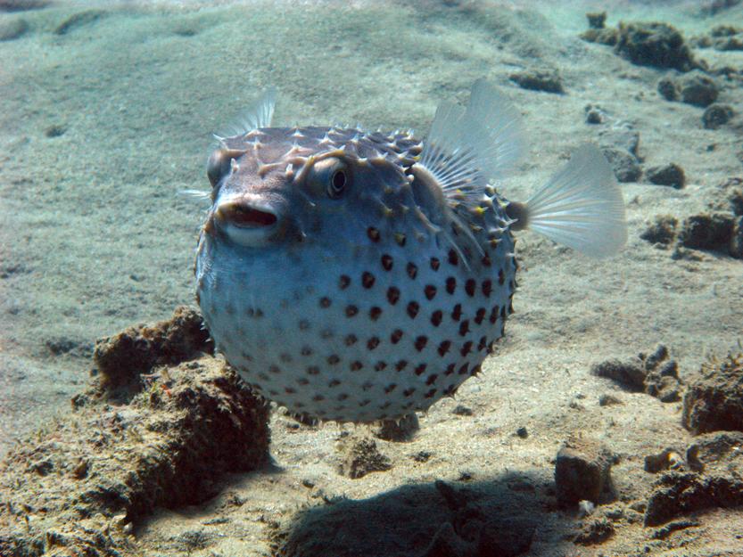 Pufferfish(Jan Finsterbusch)s