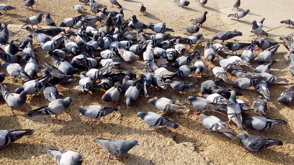 The Rock Dove Pigeon or common Pigeon(Haris Wicky)S