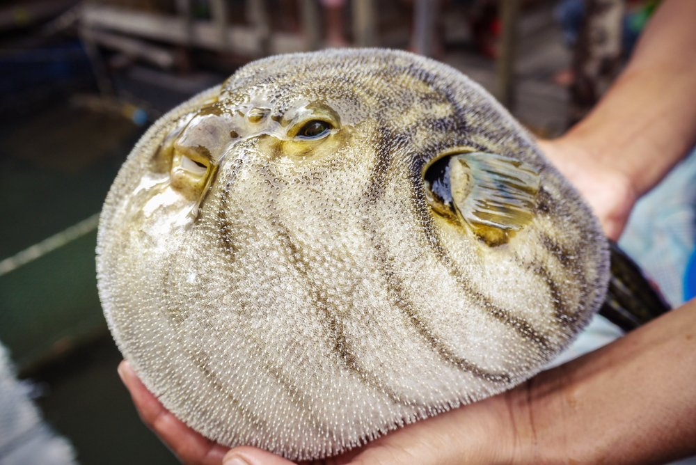 close up of inflated puffer fish (as known as blow fish or balloon fish)(AKKHARAT JARUSILAWONG)S
