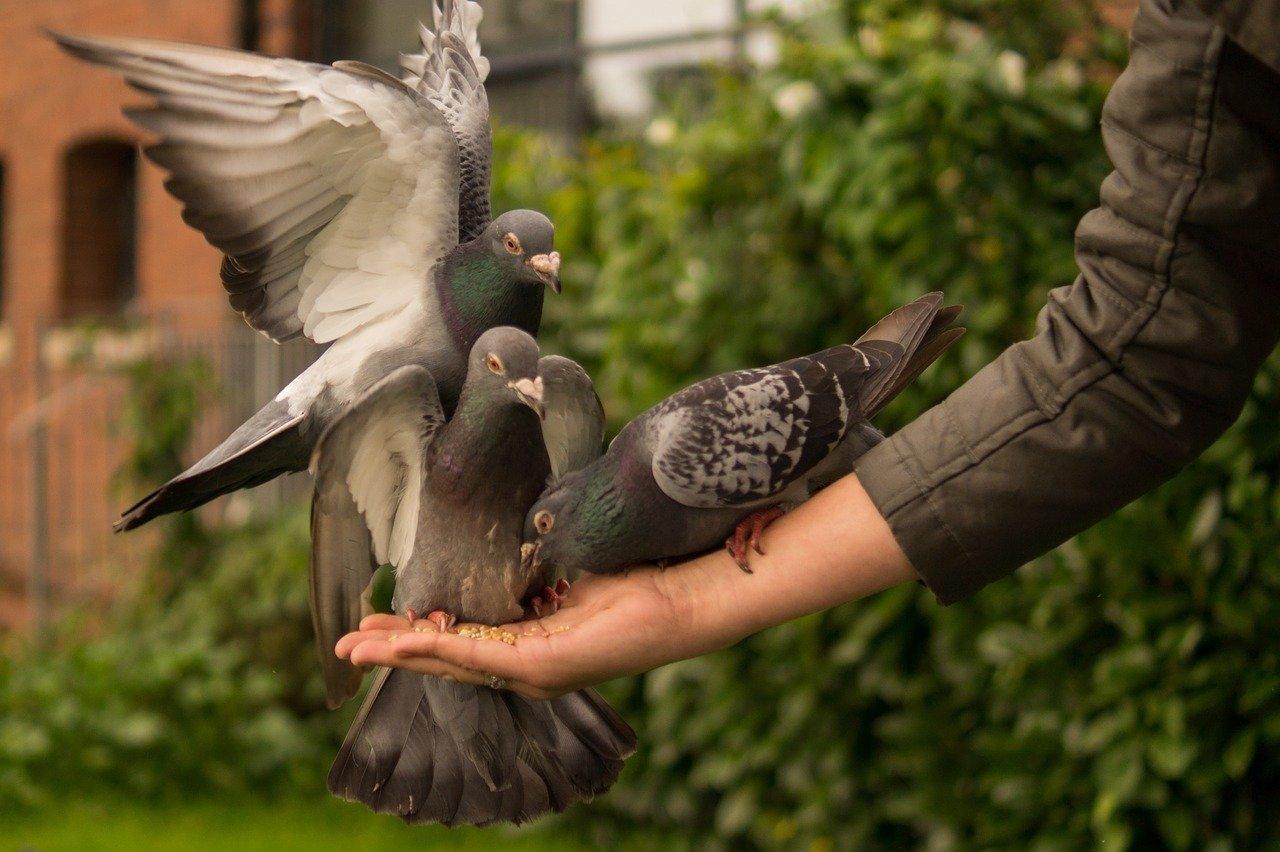 pigeon eating