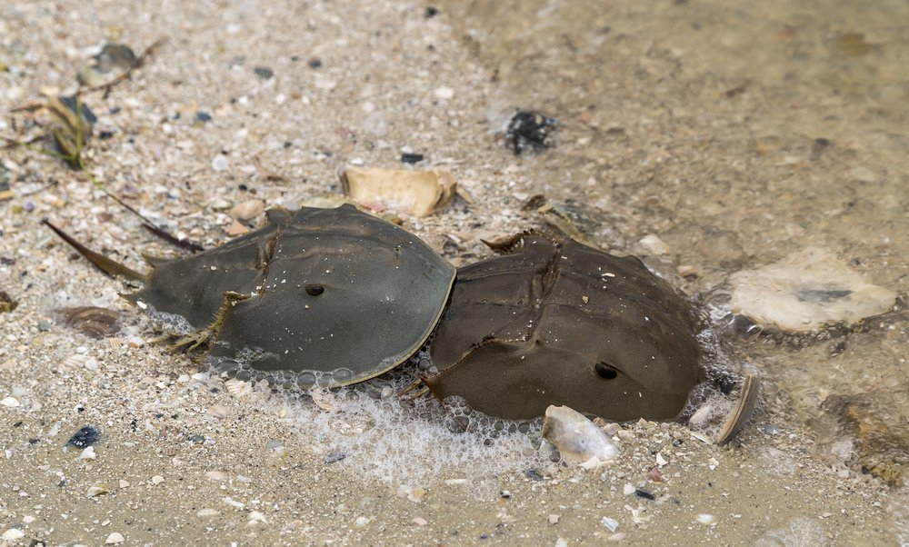 A male and female Horseshoe crab mating on the seashore(Drew Horne)S