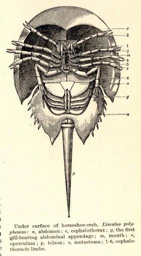 Anatomy of Horseshoe crab