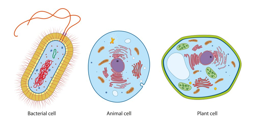 Difference between bacteria, animal and plant cells(Aldona Griskeviciene)S