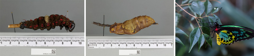 Different life stages (L) caterpillar, (C) Pupa, (R) Adult