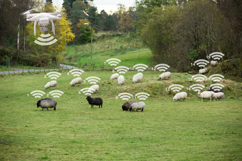 Drone counts sheep. Robot shepherd. Internet of things in agriculture(Scharfsinn)S