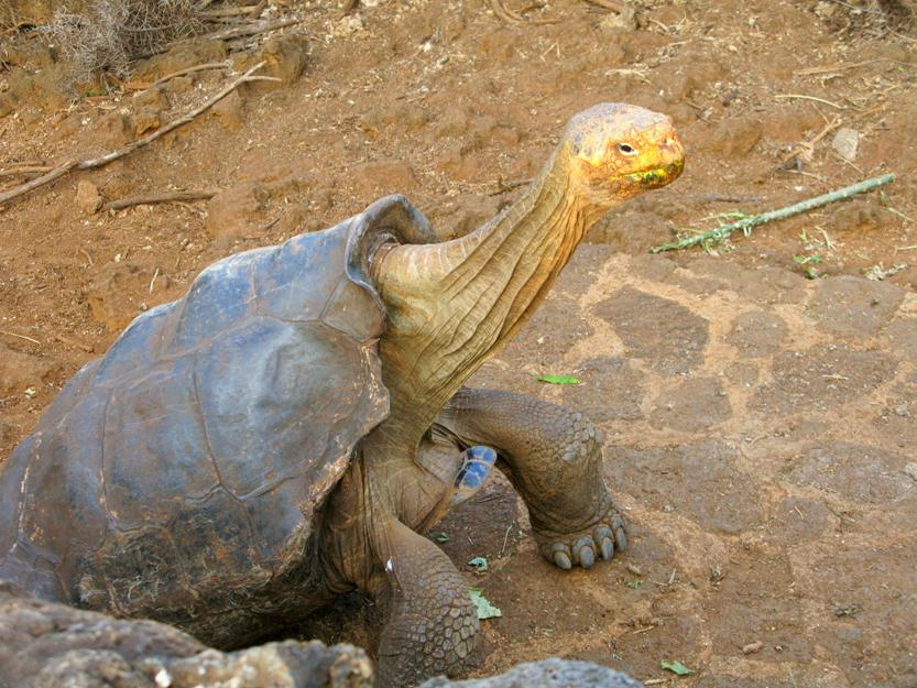 Galapagos tortoise(Angie Ip)S