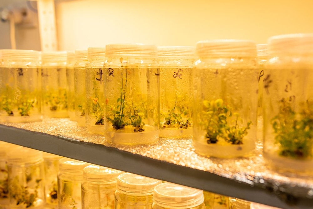 Growing blueberry plants in sterile conditions by in vitro technology(Andrii Anna photographers)s