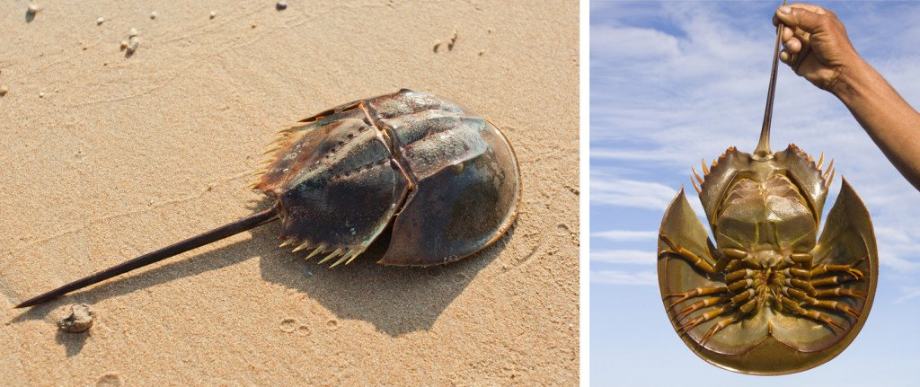 (L) Upperside of a horseshoe crab, and (R) underside of a horseshoe crab