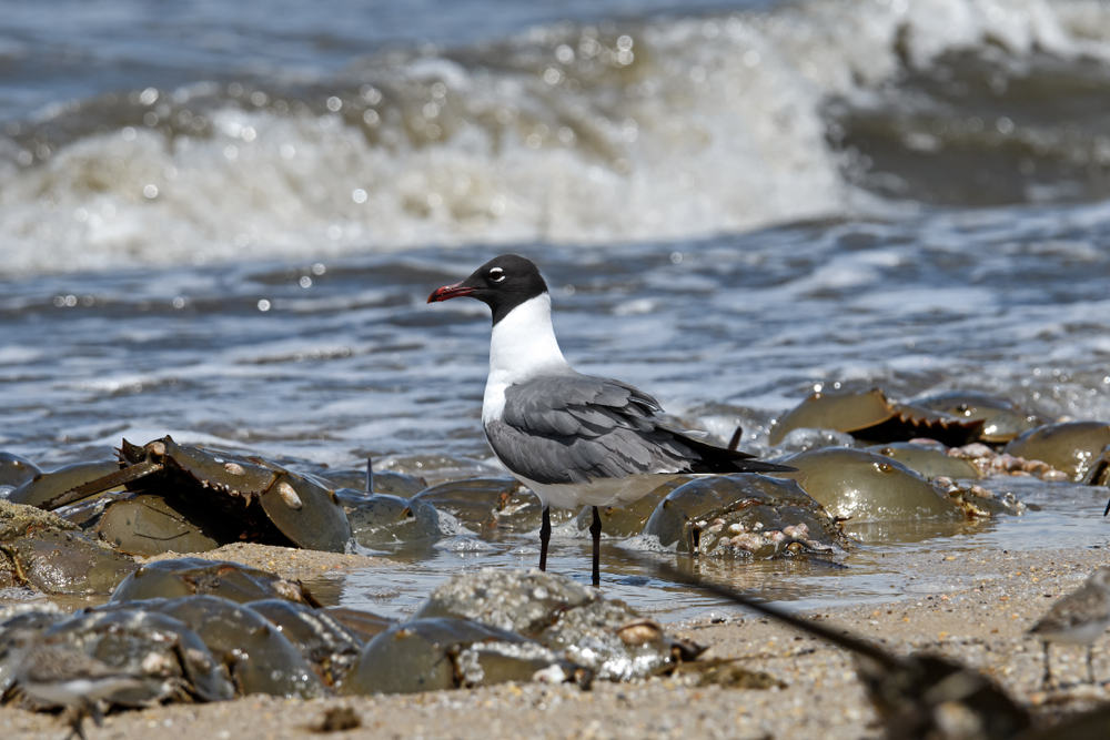 Laughing gull scavenging for eggs of Horseshoe crabs(Michael G McKinne)s