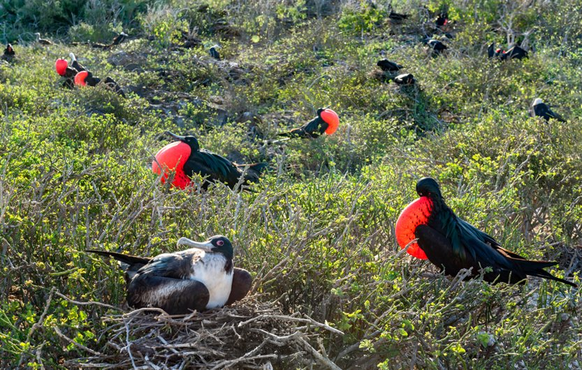 Male great frigatebirds (Fregata minor) with red gular pouches expanded(Gerry Bishop)S