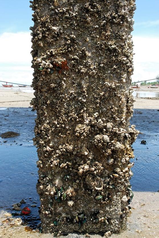 Marine biofouling organisms on concrete structure(Vorathep Muthuwan)S