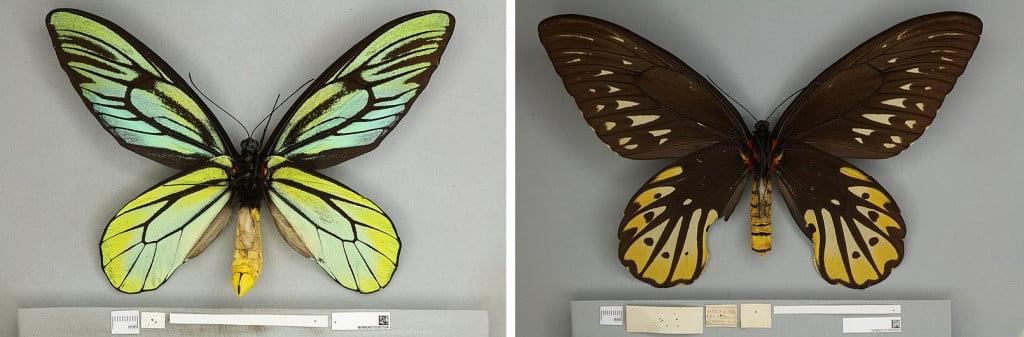 Queen Alexandra's Birdwing - (L) Male (R) female