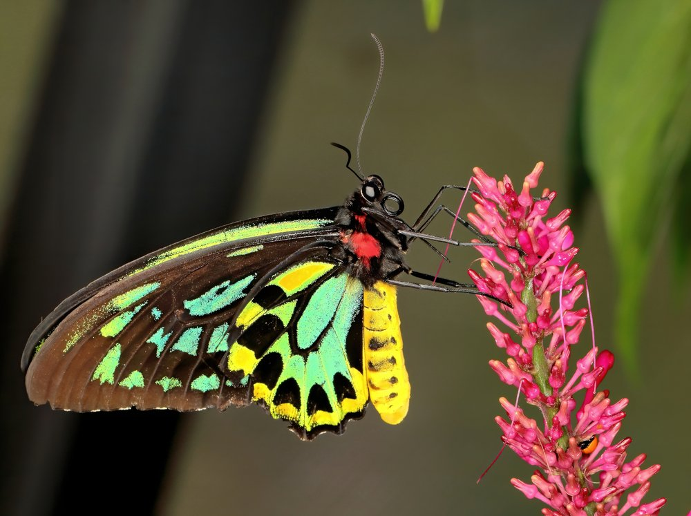 Queen Alexandra's birdwing butterfly up close to it's colorful body and wings(Russell Marshall)S